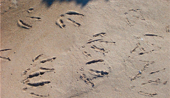 door_county_beach_birdfoot_prints