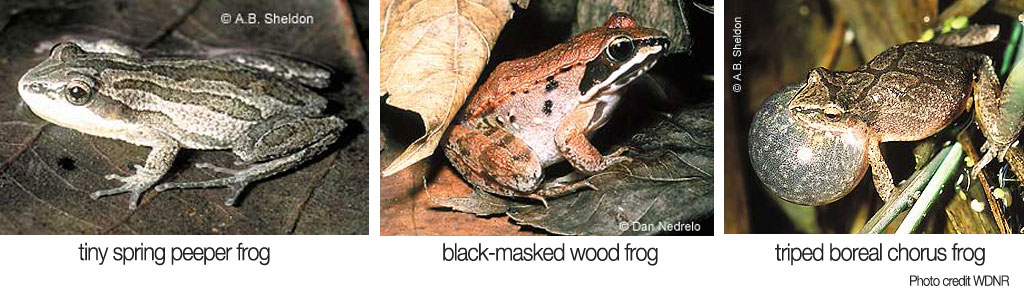 glbr_frog